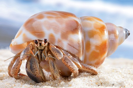 Natural Hermit Crab Shells 3d Printing Hermit Crab Shell